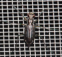 Unknown beetle - Cicindelidia punctulata