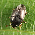 Pollen Beetle - Fabogethes nigrescens