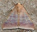 Moth - Mimophisma delunaris