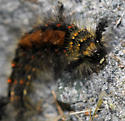 Which Caterpillar is this? - Orgyia antiqua