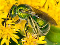 Green Metallic Sweat Bee - Augochloropsis metallica - female