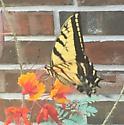 Papilio multicaudata Kirby - Papilio multicaudata