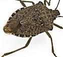 Stink bug id - Halyomorpha halys
