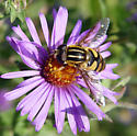 Syrphid fly from Iowa - question on genus - Helophilus fasciatus - male