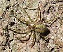 Wolf spider, perhaps Gladicosa? - Dolomedes albineus