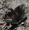 Duskywing Species - Erynnis horatius
