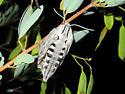 Great Ash Sphinx Moth?