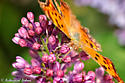 Orange Butterfly - Polygonia comma