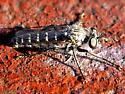 B - Backomyia
