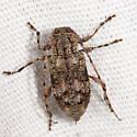 longhorn - Astylopsis collaris