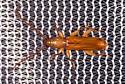 Light Brown Beetle - Smodicum cucujiforme