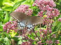 butterfly 5 - Papilio troilus