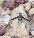 Tachnid Fly of which species? - Exoprosopa rostrifera