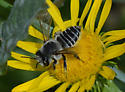 Bee 3327-3328-3330 - Megachile parallela