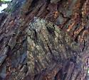 Moth - Catocala neogama
