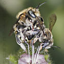 Carder Bees Mating - Anthidium - male - female