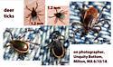 deer ticks - Ixodes scapularis - male - female
