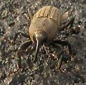 Billbug - Sphenophorus parvulus