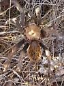Tarantula on Marcus Landslide Trail