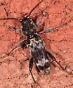 Beetle for ID - Xylotrechus colonus