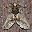 Paectes abrostoloides - female