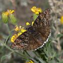 Pacuvius Dushywing - Erynnis pacuvius - female