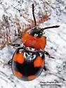 Coleoptera - Mycetina perpulchra