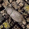 Broad Nosed Weevil - Peritaxia