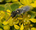 Halictid, i.e. Lasioglossum? - Lasioglossum actinosum - male