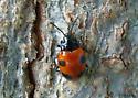 small beetle - Endomychus biguttatus