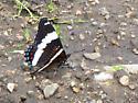 Butterfly ID - Limenitis arthemis