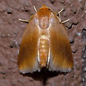 Warm-chevroned Moth - Hodges#4652 - Tortricidia testacea