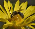 Bee 627A 7345 - Halictus confusus