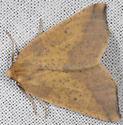 Unknown Moth - Neoterpes edwardsata - male
