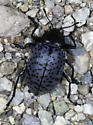 Very pleasing fungus beetle - Gibbifer californicus