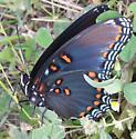 Is this a swallowtail? - Limenitis arthemis