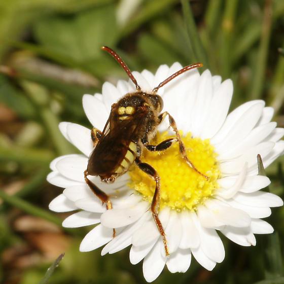 Unidentified Bee - I think - Nomada