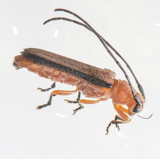 red beetle? - Oberea gracilis