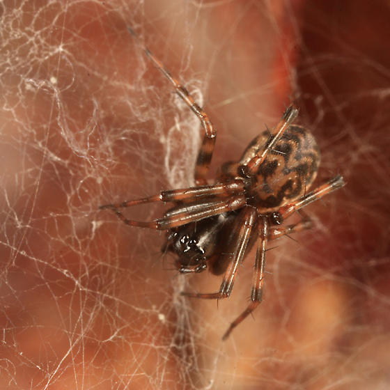 spider - Neriene clathrata - female