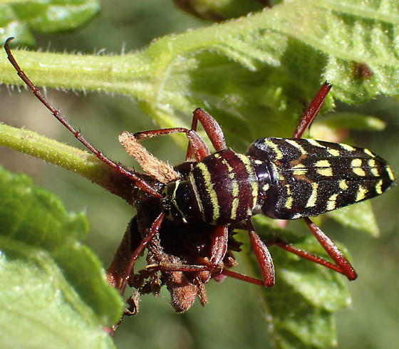 beetle - Placosternus difficilis