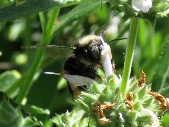 carpenter bee - Xylocopa tabaniformis