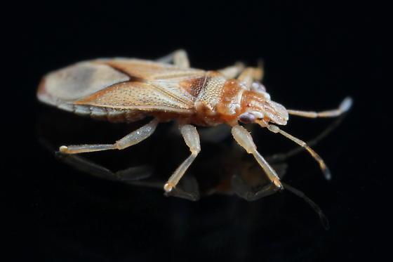 Thaumastocoris peregrinus