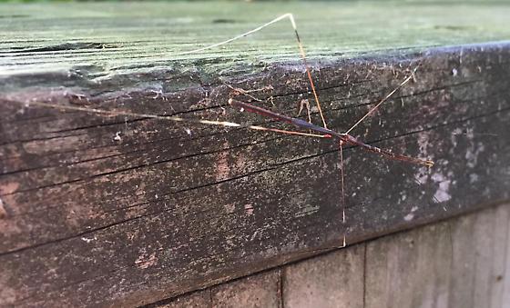 Thread-legged Assasin Bug - Emesaya brevipennis