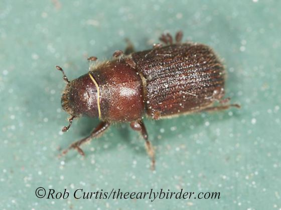 8036869 beetle - Dendroctonus valens