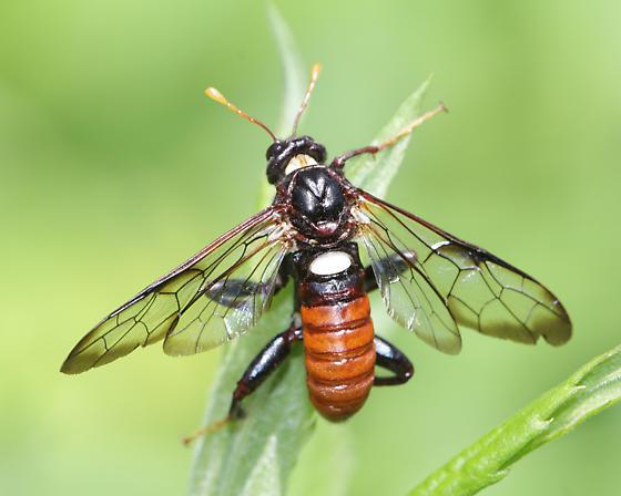 Unidentified - Cimbex americanus