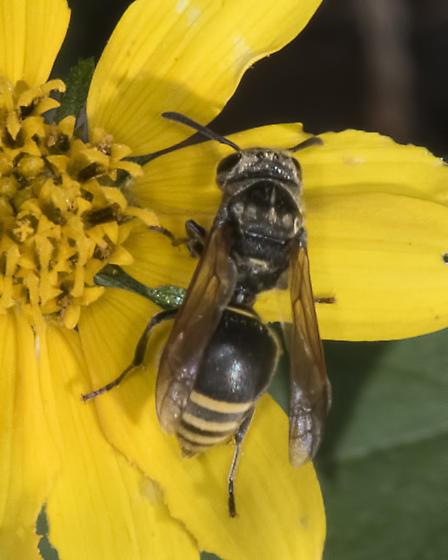 Mexican honey wasp (Brachygastra mellifica)  - Brachygastra mellifica
