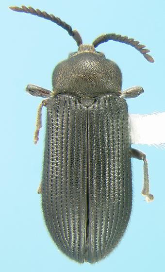 Rare click beetle - Cerophytum pulsator - female