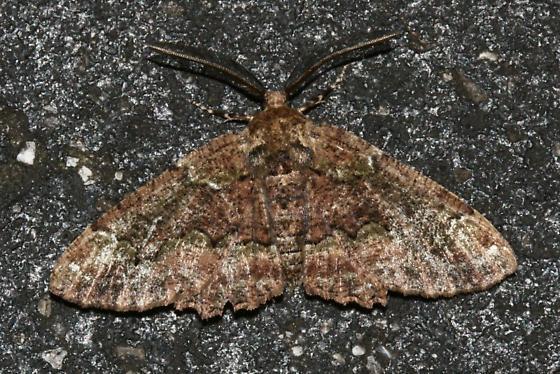 Unknown Florida Moth - Phaeoura quernaria - male