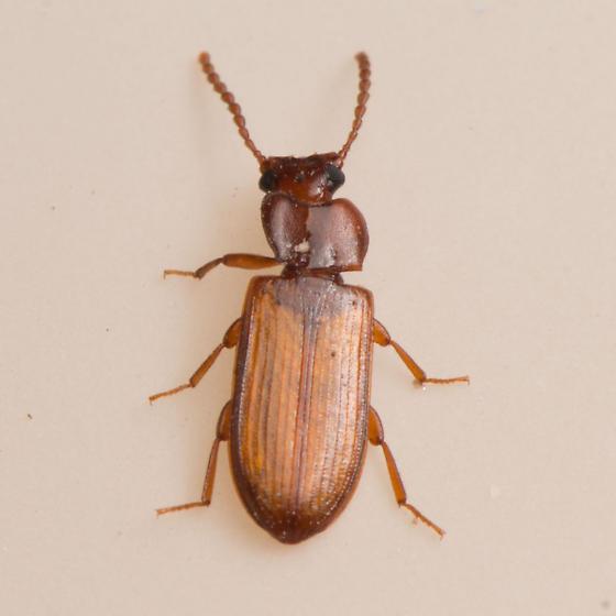 Darkling Beetle Adelina? - Adelina