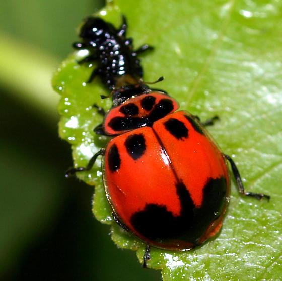 What kind of ladybug is this? - Neoharmonia venusta